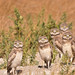 Burrowing Owls late brood 1 by Idahobill2008
