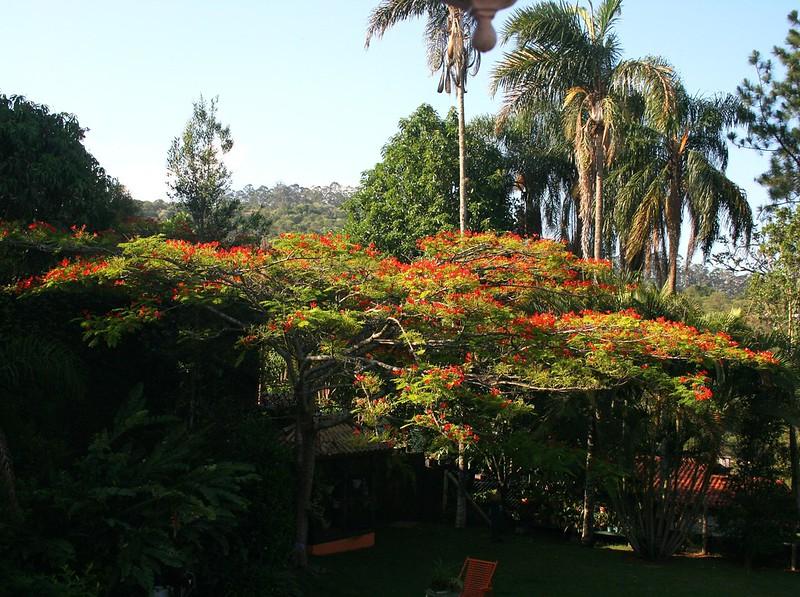 Flamboyant tree - Flamboyan - Delonix regia