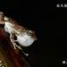 林建鳴_面天樹蛙