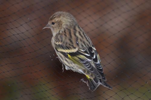 cornell birds