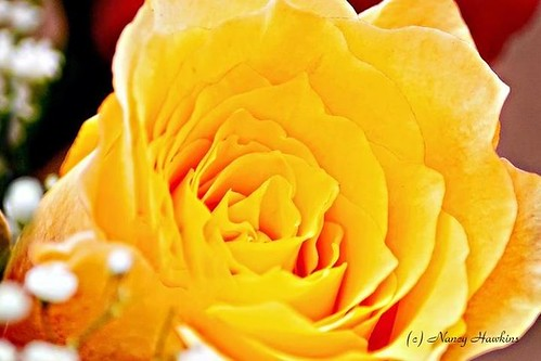 Buttery Petals by Nancy Hawkins