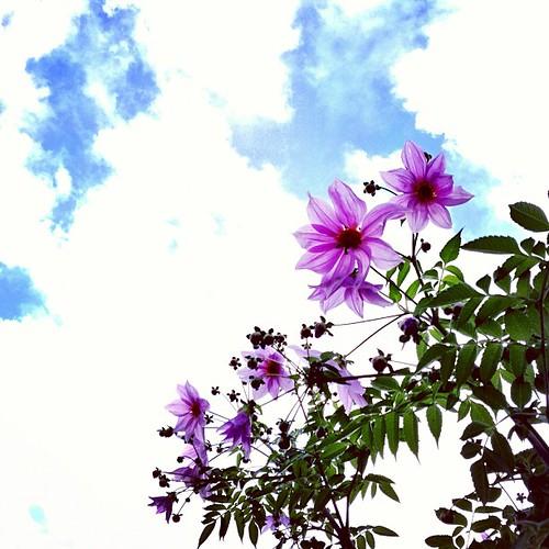 * コウテイダリア * お疲れダリア♪ 今日もありがと(〃ω〃) * #kokohana #hana #flower #花 #floweroftheday #insta_pick_blossoms #ザ花部 #フォトサプリ #photooftheday #iphoneography #iphoneonly #instagramer #webstagram