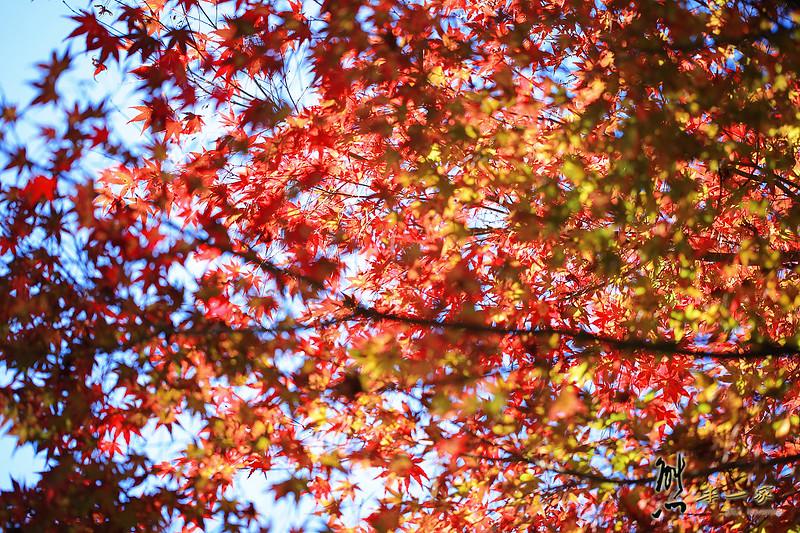 福壽山農場賞楓