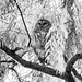 Barred Owl, Boston Public Garden by gfabbri