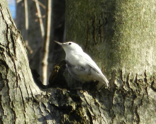 Leucistic White-breasted Nuthatch