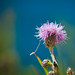 Thistle @ Durlston Head, Dorset