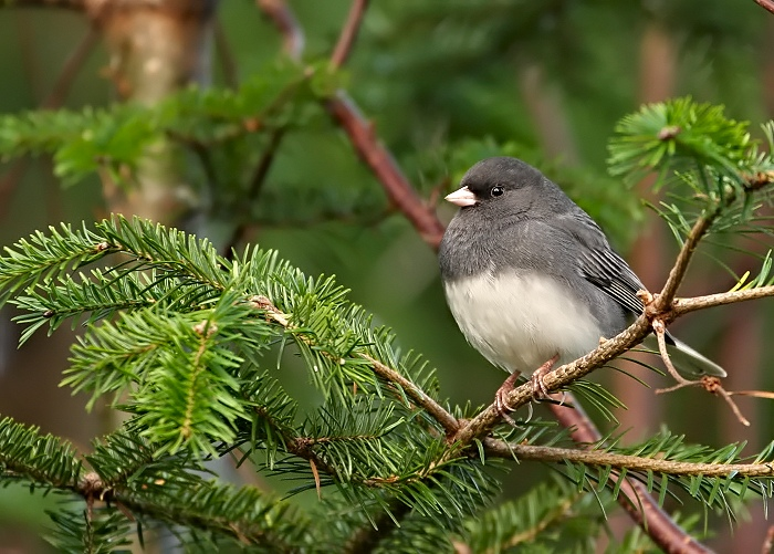 Junco in an Evergreen