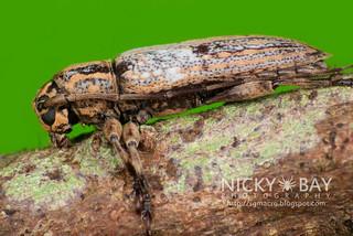 Longhorn Beetle (Sybra sp.) - DSC_4681