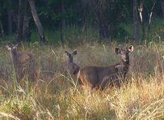 Sambar Deer.  Servus unicolor