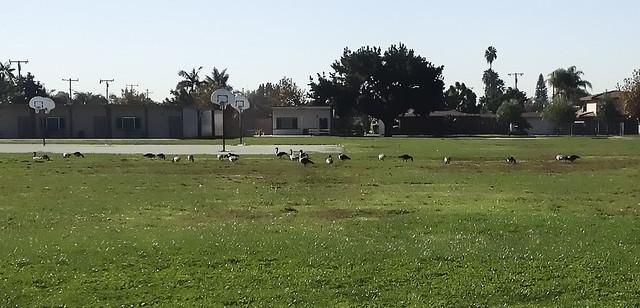 Geese at Rio Hondo Elementary