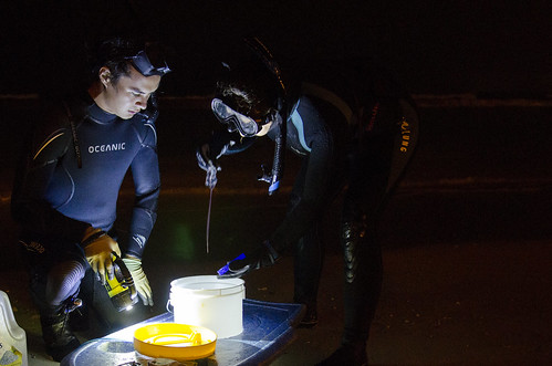 <p>University of Hawaii at Manoa Assistant Research Professor Angel Yanagihara and undergraduate research student Nick Sinclair collect box jellyfish specimen in Waikiki. Photo credit: University of Hawaii</p>