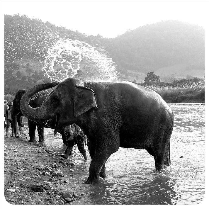 elephant showering himself