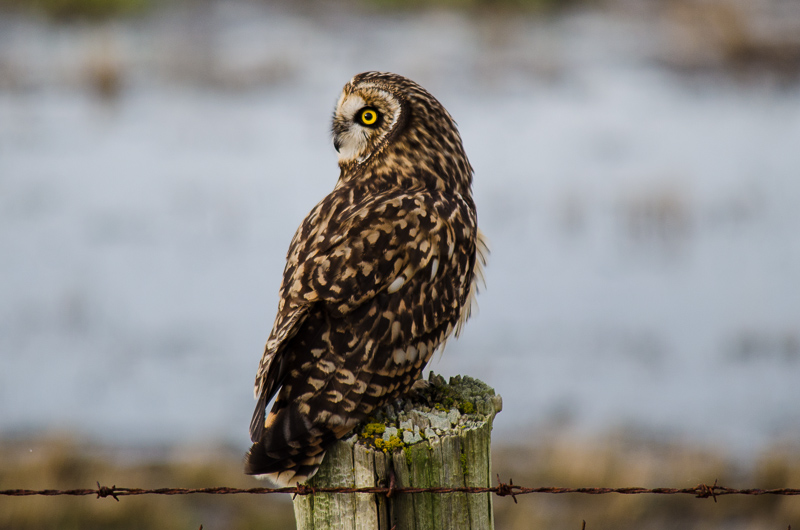 Short-eared Owl watches