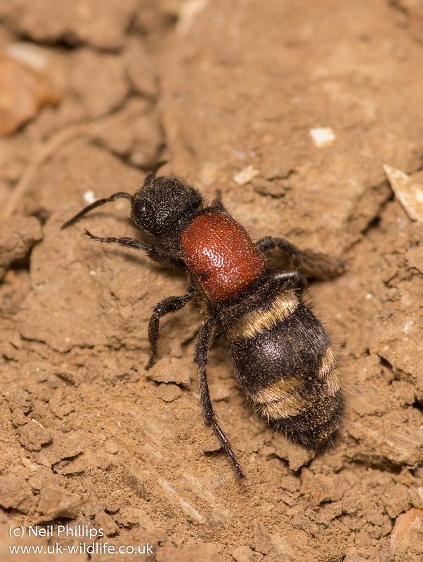 large velvet ant - Mutilla europaea 4