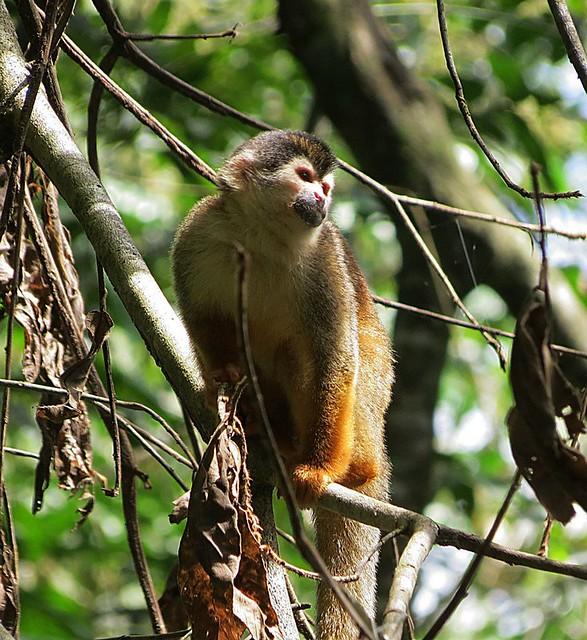 Costa Rica Big Cats, Primates & Turtle Conservation ...
