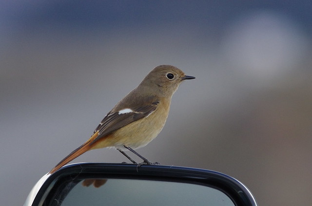 Lovely bird on the side mirror of my car