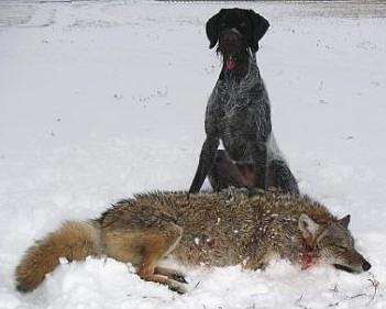 DD & Coyote