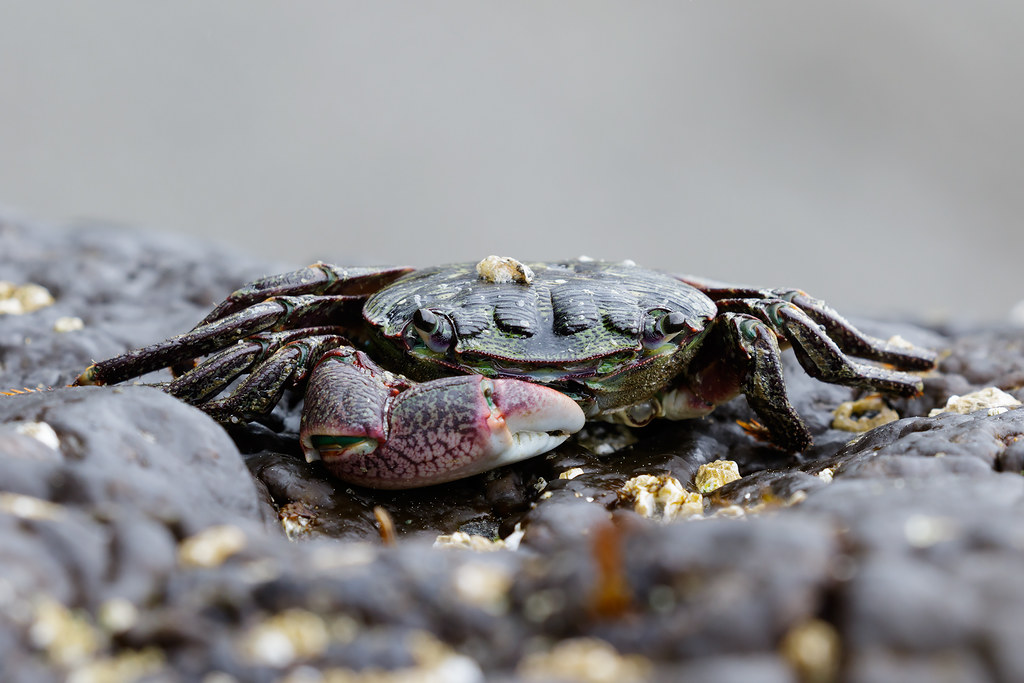 A lined shore crab with a missing claw