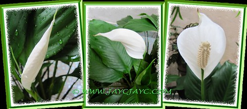 Spathiphyllum 'Mauna Loa Supreme': unfurling its flower and leaf