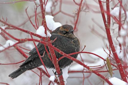 Rusty Blackbird   9 Nov 12  Ft. Peck yard