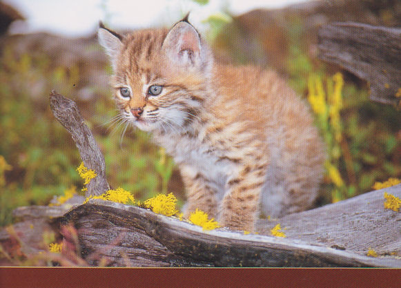 Baby Bobcat - North America | Flickr - Photo Sharing!