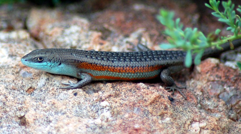 Southern Rainbow skink breeding colours EC cropped