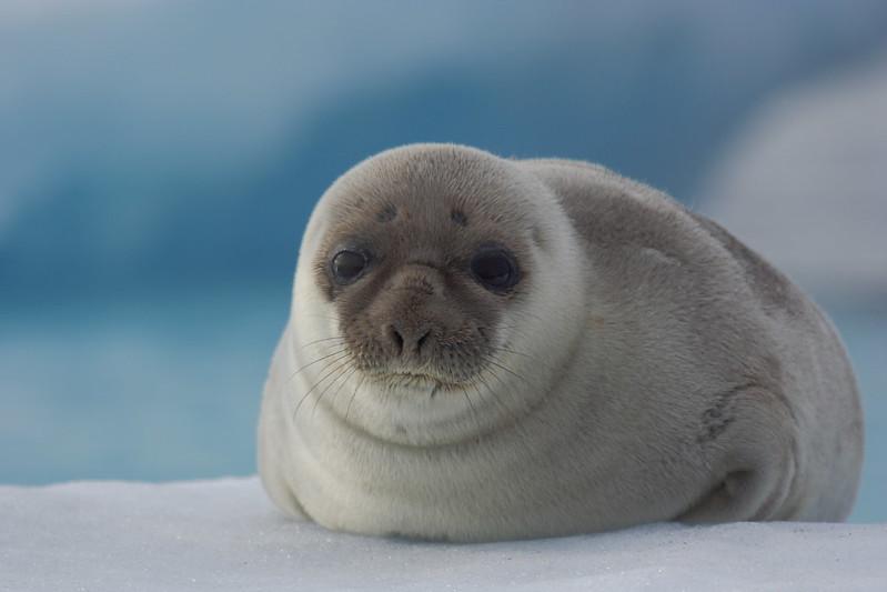 Hooded seal cute pup