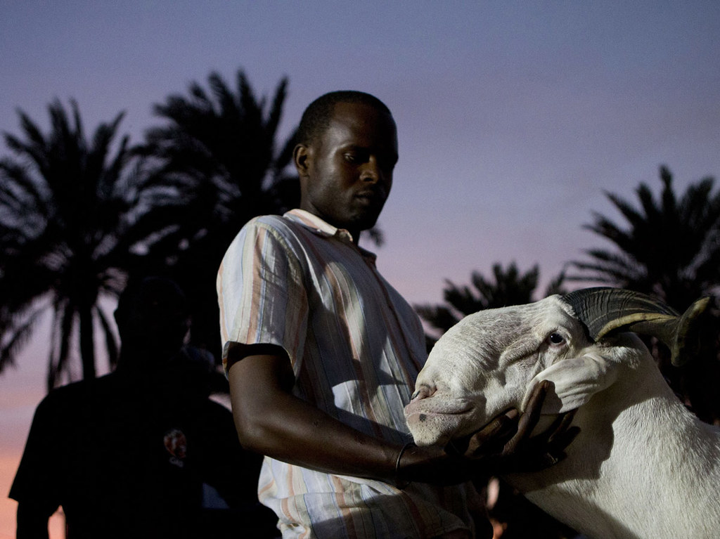 Breeder Pape Dieng massages the head of his ram, Salmane