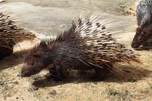 Malayan Porcupine (Captive)