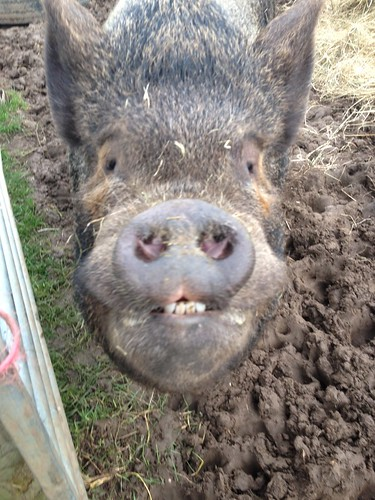 Thelma the pig at Margaret Green's Animal Rescue
