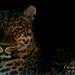 Leopard dans le noir, Par Christian Picard