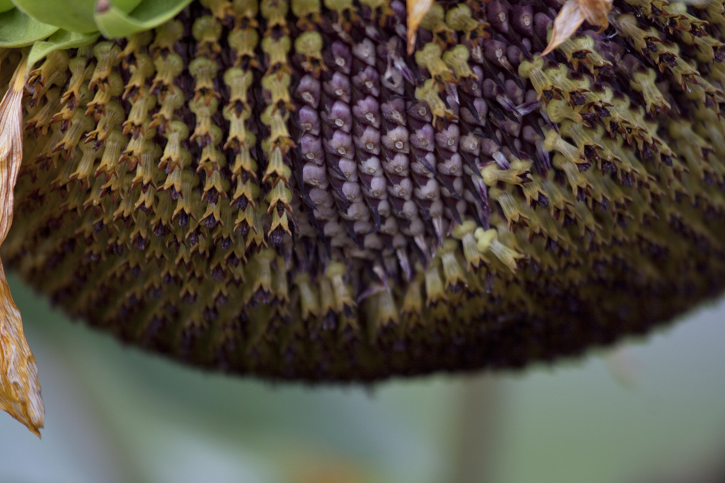 sunflower head3