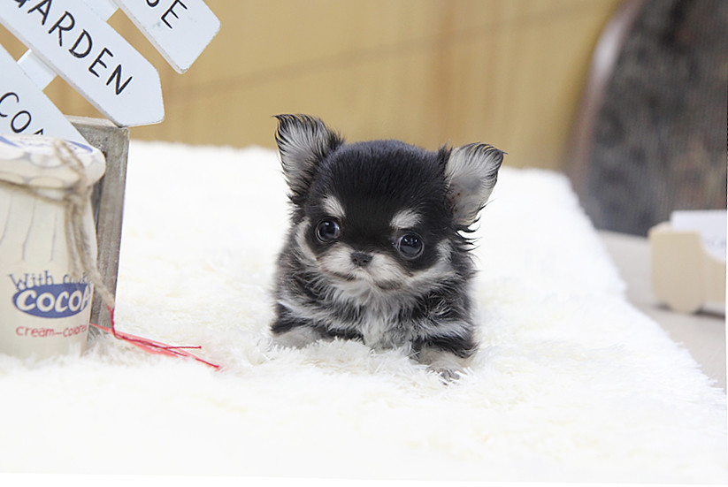 Top Quality Long Hair Teacup Chihuahua Puppy Heres Top Qu Flickr