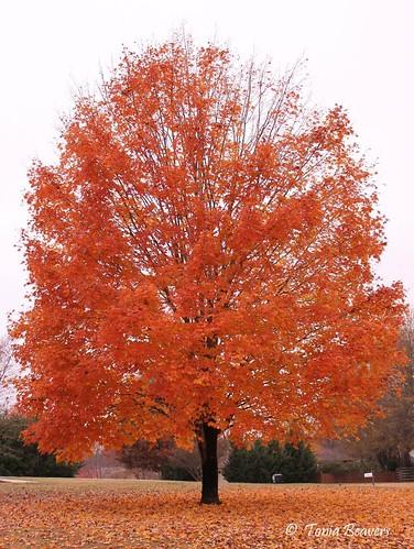 autumn trees orange fall leaves landscape outdoors