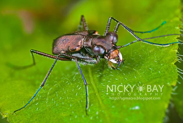 Tiger Beetle (Cicindelinae) - DSC_4797