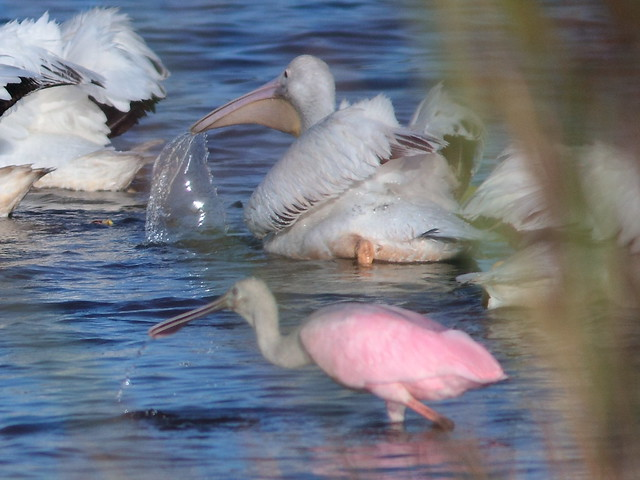 Pelican and spoonbill feeding 20121125