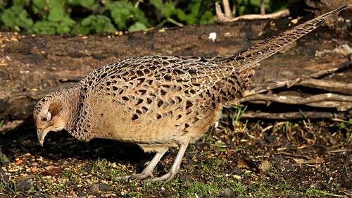 Pheasant (f)