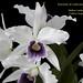 Laelia purpurata coerulea - cultivo Orquidário Linhares