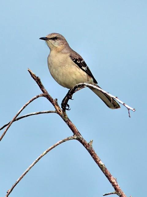 Northern Mockingbird 20121205
