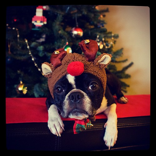 Stella Bella Blue, the other reindeer... #christmas #dog #dogs #bostonterrier #bostonterriers