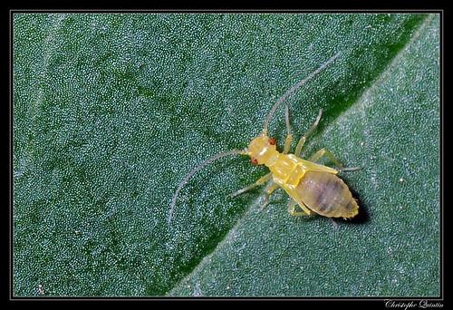 Larve de psocoptère (Valenzuela flavidus ?)