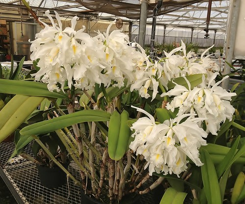 Andy's Easton's Cattleya maxima alba 'Kathleen'