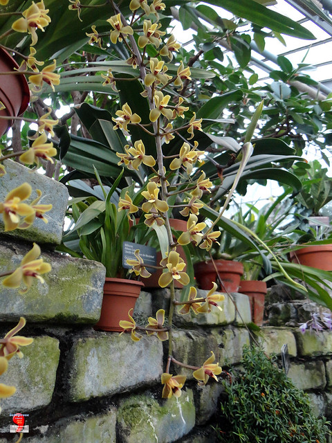 Orchids - Cymbidium madidum - Orchidaceae - origin Australia SC20121208 045