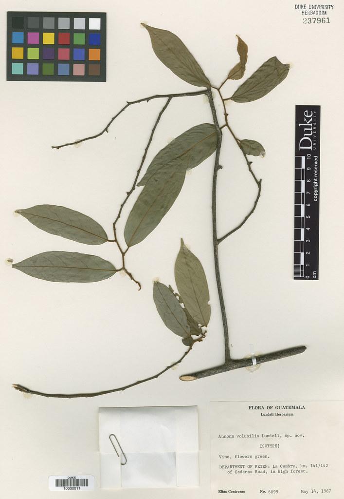 Annonaceae_Annona volubilis