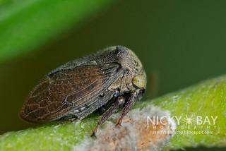 Treehopper (Tricentrus sp.) - DSC_1531