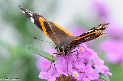 usa butterfly texas redadmiral micro edinburg montecristo vanessaatalanta