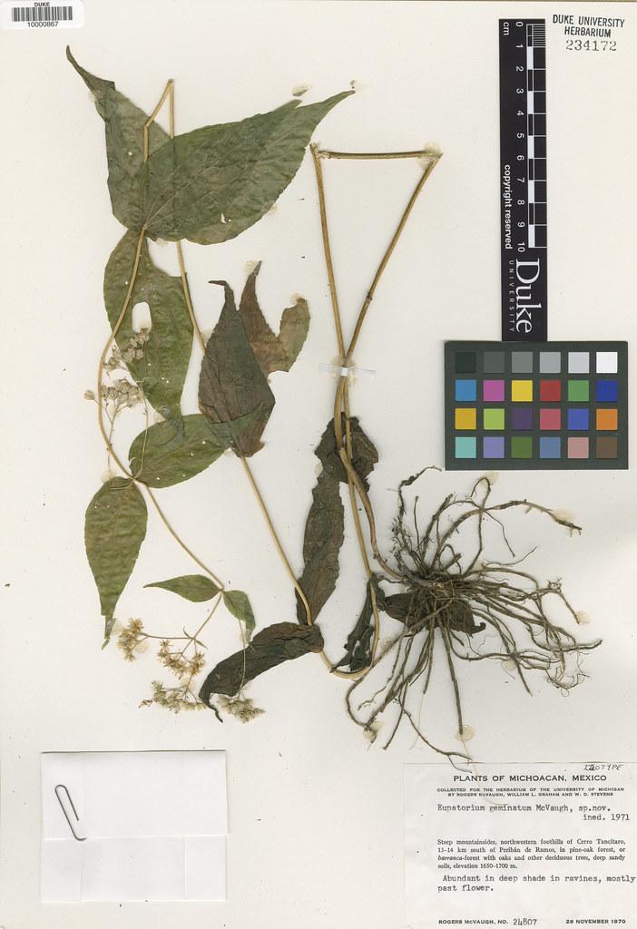 Asteraceae_Eupatorium geminatum