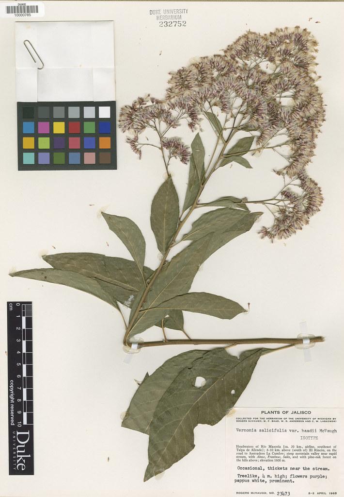 Asteraceae_Vernonia salicifolia