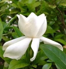 Gardenia I