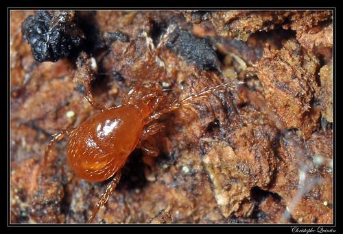 Acarien Parasitidae